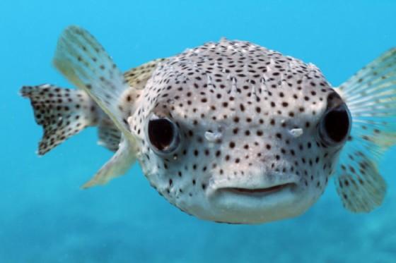 Catturato pesce palla a Briatico, ha tossina killer